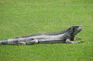 The iguanas!